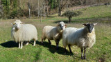 moutons-3186