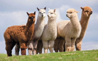 alpaca-wallpaper-5-2543